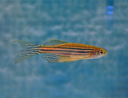 1-Zebrafish
